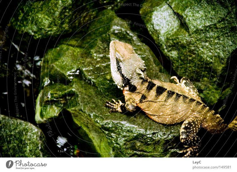 Echse grün Erholung Stein braun nass Zoo Urwald Drache Reptil Echsen Echte Eidechsen