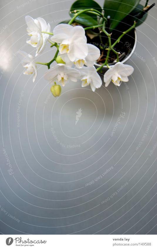 Orchid Natur schön Baum Pflanze Blume Blüte elegant ästhetisch Dekoration & Verzierung Urwald exotisch edel Arbeitsplatz Südamerika König Orchidee