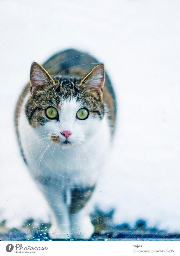 Katze am Fenster schön Haare & Frisuren Natur Tier Fell Haustier schwarz weiß Wachsamkeit Neugier Angst starrt Schnee süß Pussy Kopf Lebewesen neugierig