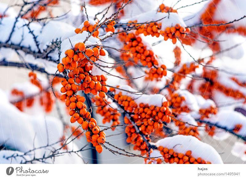Sanddorn, reife Früchte im Schnee Frucht Alternativmedizin Winter Pflanze Klima Sträucher Nutzpflanze rot Fruchtstand Beeren Schneehaube Jahreszeiten