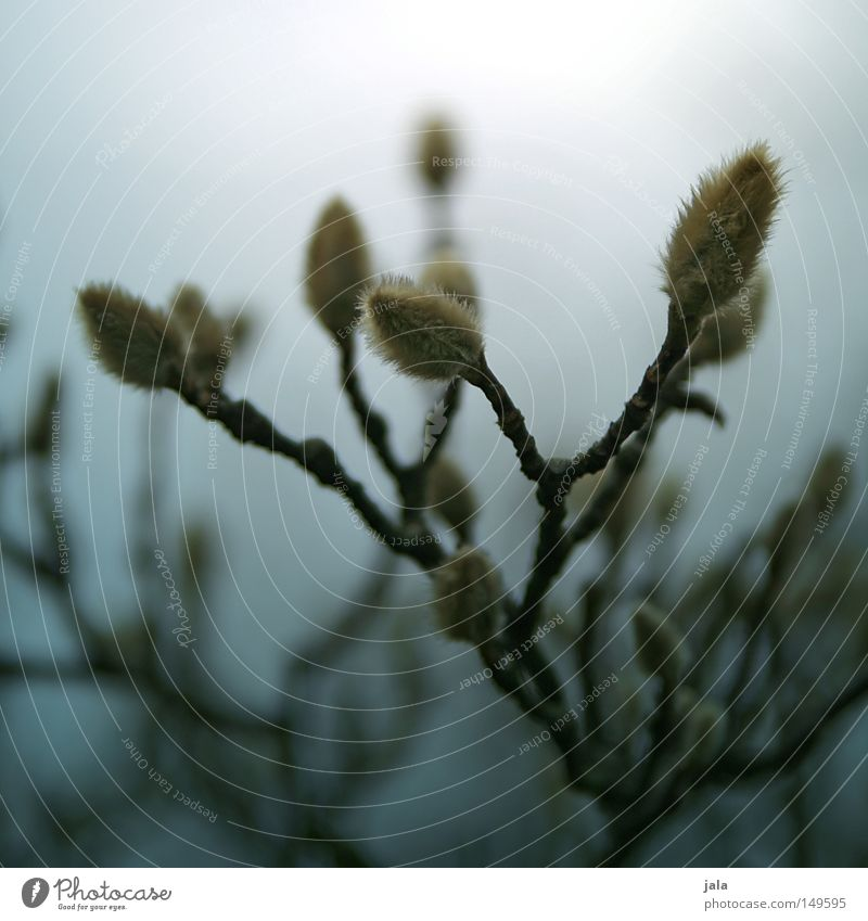 magnolia Zweig Sträucher Baum Ast Geäst Blüte Blütenknospen Blattknospe Trauer Unschärfe verblüht vertrocknet Natur Pflanze Wachstum gedeihen Märchen Einsamkeit