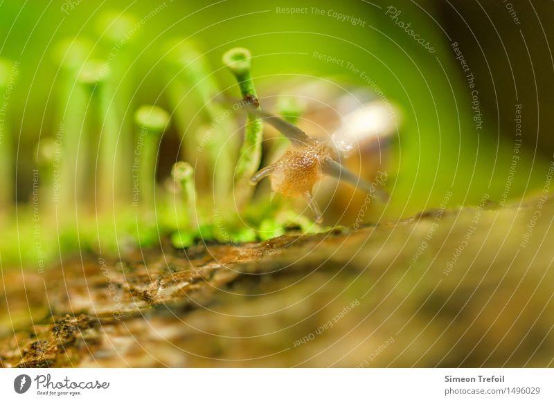 Zielstrebig Leben Freiheit Garten Natur Moos Pilz Wege & Pfade Tier Schnecke rennen wandern Ekel glänzend nass natürlich schleimig stark braun grün