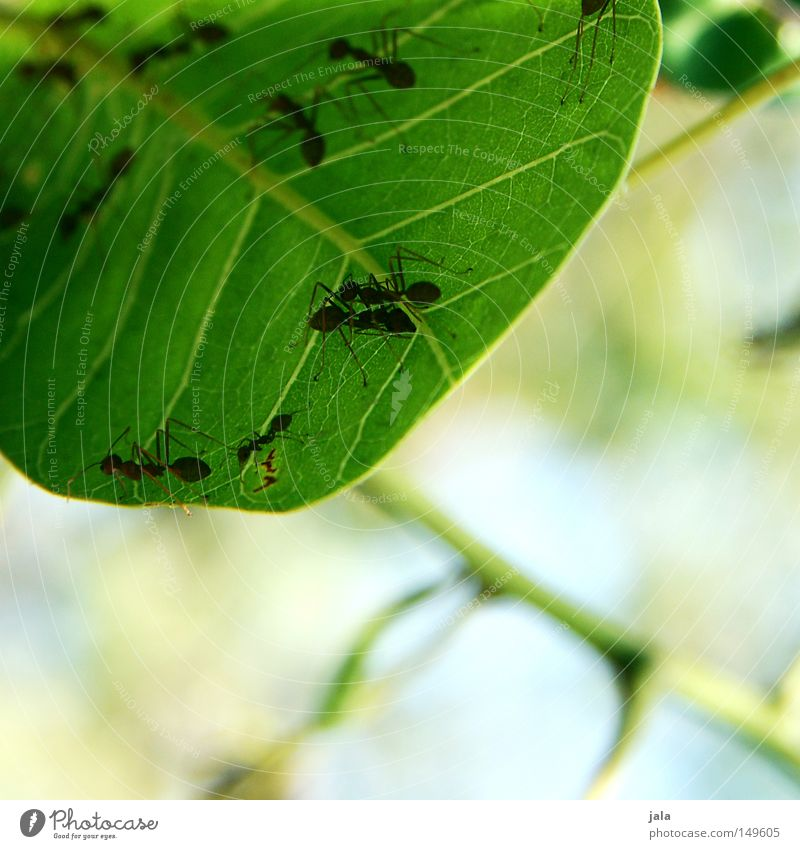 kommunikationsblattform Natur Baum grün Sommer Blatt Tier Sträucher Ast Ameise Treffpunkt