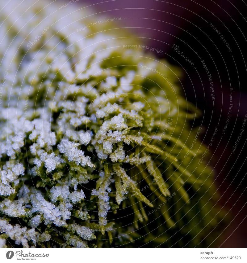 Frost Natur Pflanze grün Winter dunkel kalt Umwelt Beleuchtung Schnee Stil Hintergrundbild klein Lampe Eis Wachstum weich