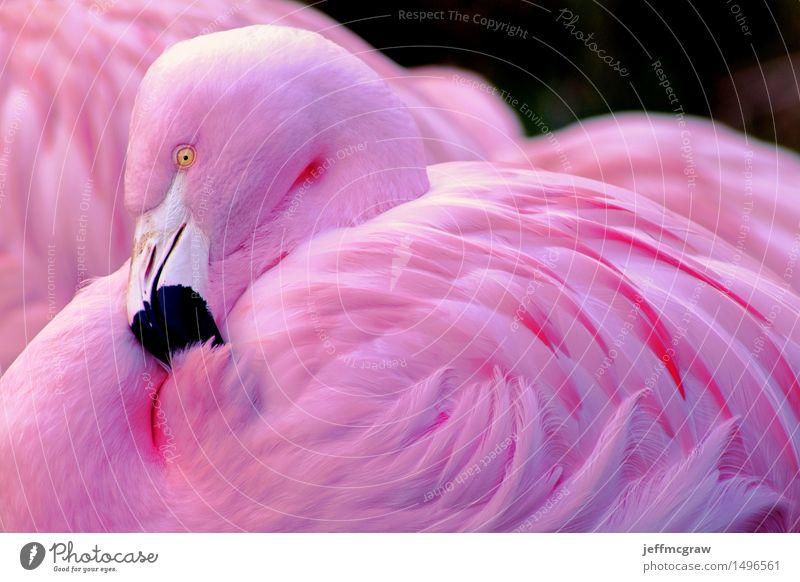 Chilenischer Flamingo Natur Tier Haustier Wildtier Tiergesicht 1 2 elegant natürlich rosa schwarz ruhig Farbfoto mehrfarbig Detailaufnahme Menschenleer Tag