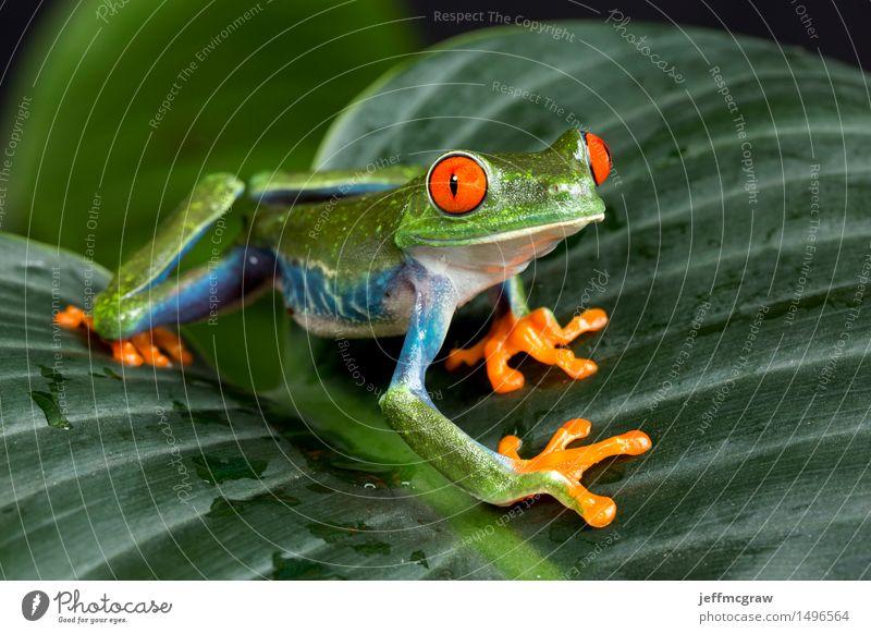 Rotäugiger Baum-Frosch auf Laub Natur Pflanze Tier Haustier Wildtier 1 Abenteuer einzigartig Freiheit schön Farbfoto Nahaufnahme Makroaufnahme Menschenleer Tag
