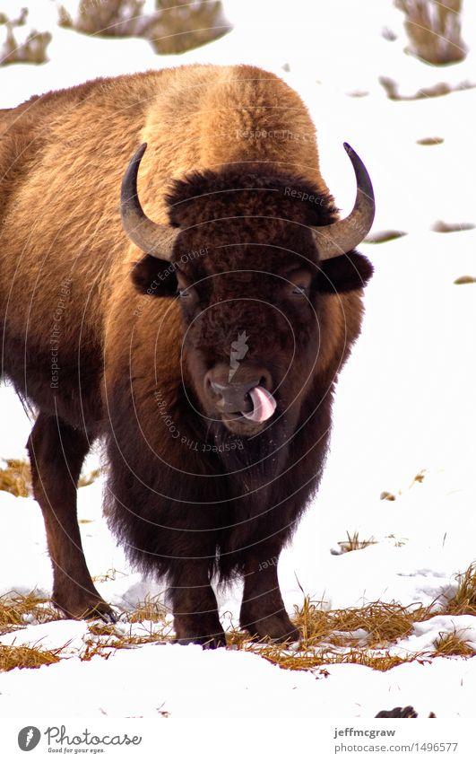 Amerikanischer Bison, Lecken mag es einfach Egal Natur Tier Gras Wildtier Tiergesicht 1 Fressen Ekel frech sauer braun weiß Farbfoto Außenaufnahme Menschenleer
