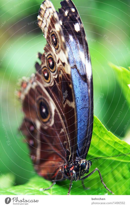 blau Natur Pflanze Tier Schönes Wetter Baum Blatt Garten Park Wiese Wildtier Schmetterling Tiergesicht Flügel blauer morphofalter 1 beobachten Erholung fliegen