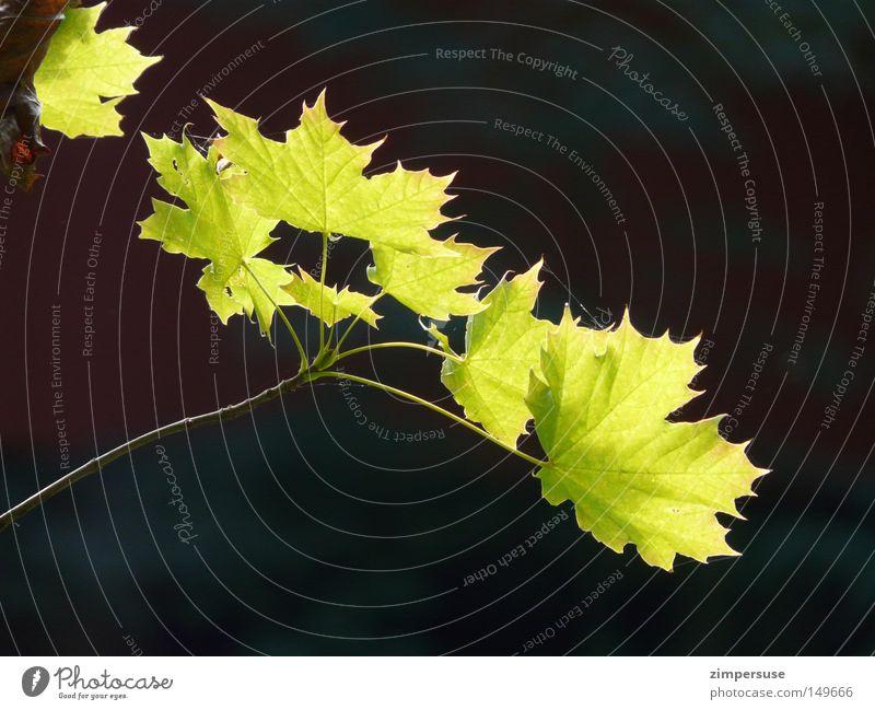 ... Ahorn Ast Blatt Zweig grün erleuchten Sommer Frühling frisch ausgestreckt Wachstum Ahornzweig Leben Lampe