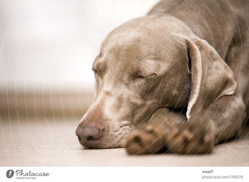 fauler Hund bequem schlafen Müdigkeit Halbschlaf Pfote Tiergesicht Fell Schnauze liegen geschlossene Augen Nase Kopf Weimaraner Welpe niedlich Vertrauen Ohr