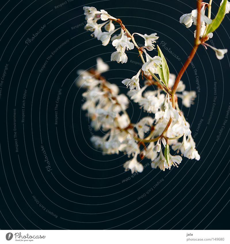 blütenzauber Blüte Blume weiß schwarz grau Tiefenschärfe Sträucher Blatt Ast Zweig einfach herzbewegend sehr wenige simpel zart weich Pflanze Park grün braun