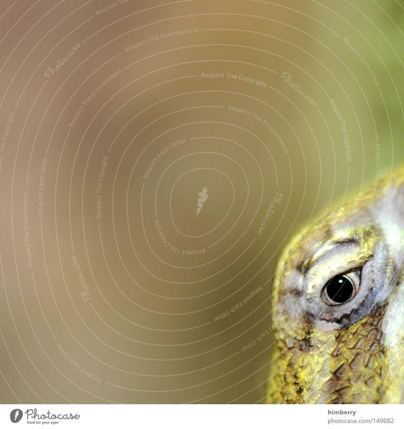 sneak preview Gecko Leguane Reptil Filmpremiere Salamander Auge Blick Makroaufnahme Tier Kopf gepanzert Panzer Schüchternheit Tarnung Tarnfarbe Terrarium Lurch