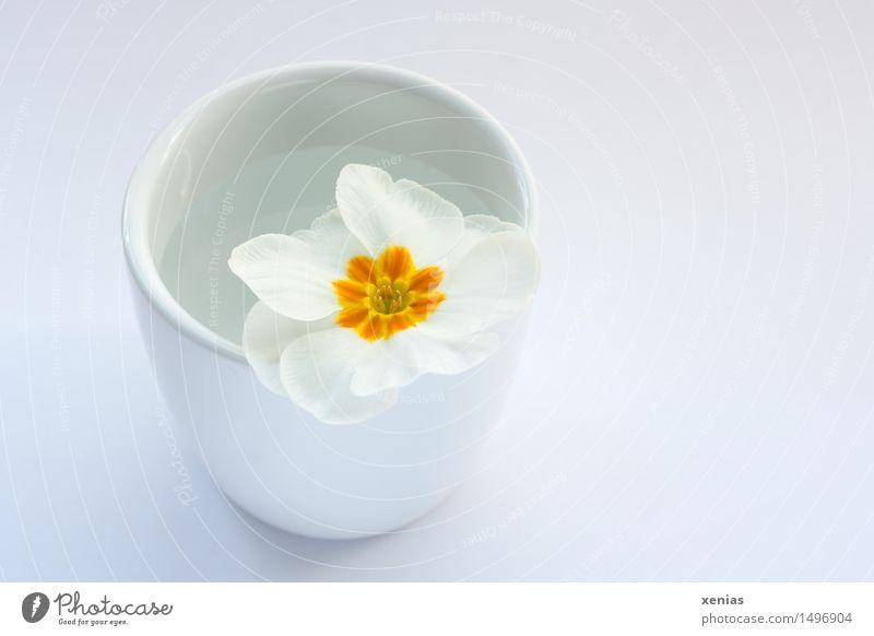 weisse Primel in Becher mit Wasser Kissen-Primel Wellness Vase gelb weiß Frühling Innenaufnahme becher neutraler Hintergrund