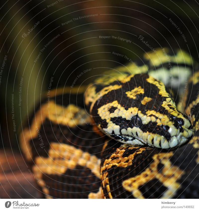 snake break Tier Auge Kopf Angst gefährlich bedrohlich Wüste Zoo Momentaufnahme exotisch Panik Schlange Jäger Schüchternheit Reptil Tarnung