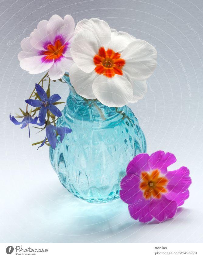 Drei Primel mit blauer Vase Kissen-Primel Frühling Blüte Glas violett orange rosa weiß 3 Farbtupfer Blume Blühend