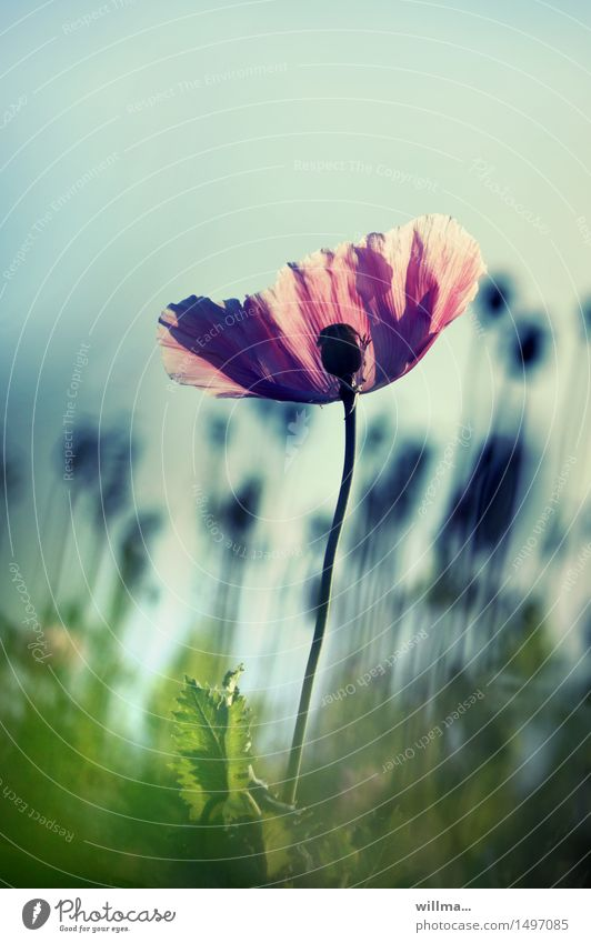 mohnblume - die diva Mohnblüte Schlafmohn Mohnfeld Blühend elegant Sommer Natur Pflanze Blume ästhetisch Blütenblatt rosa grün Gegenlicht Mohnblume