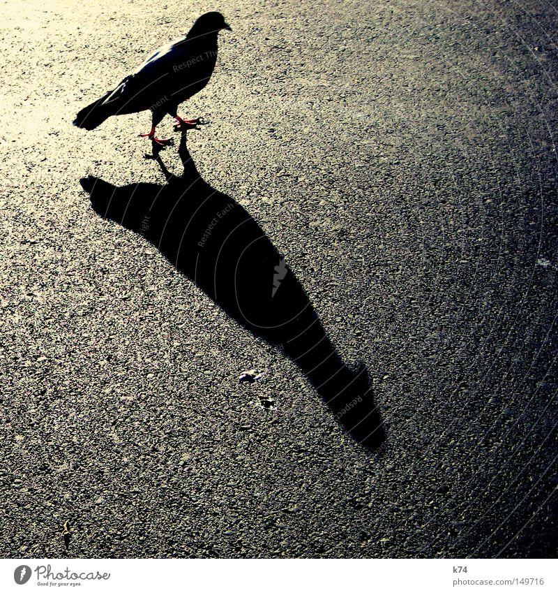 citybird Straße Vogel Feder Asphalt Taube Schnabel Teer Krallen Schattenspiel Schattenseite