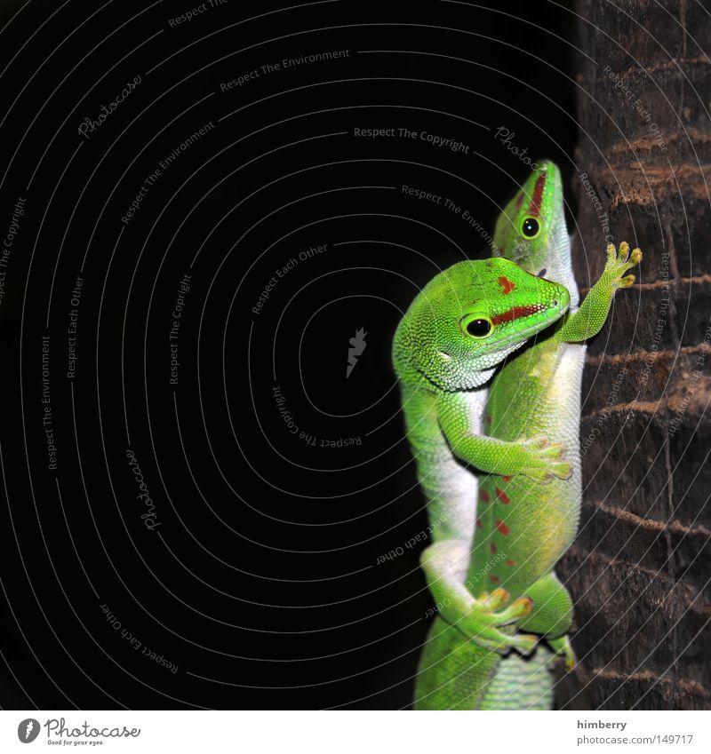 huckepack grün Tier Liebe Auge Kopf paarweise Zoo Momentaufnahme Partner exotisch Makroaufnahme Jäger Schüchternheit Reptil Tarnung Ehe