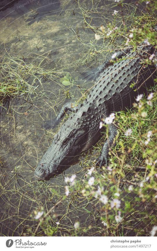 Welcome to Gator Country Umwelt Urwald Küste Flussufer Teich See Florida Tier Wildtier Alligator Krokodil 1 schlafen bedrohlich Trägheit exotisch