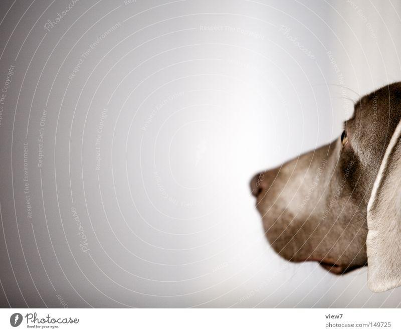 Beobachtung Hund beobachten wach Tiergesicht Schnauze Nase Kopf Weimaraner Welpe niedlich Ohr Hängeohr ruhig Säugetier Freisteller Vor hellem Hintergrund