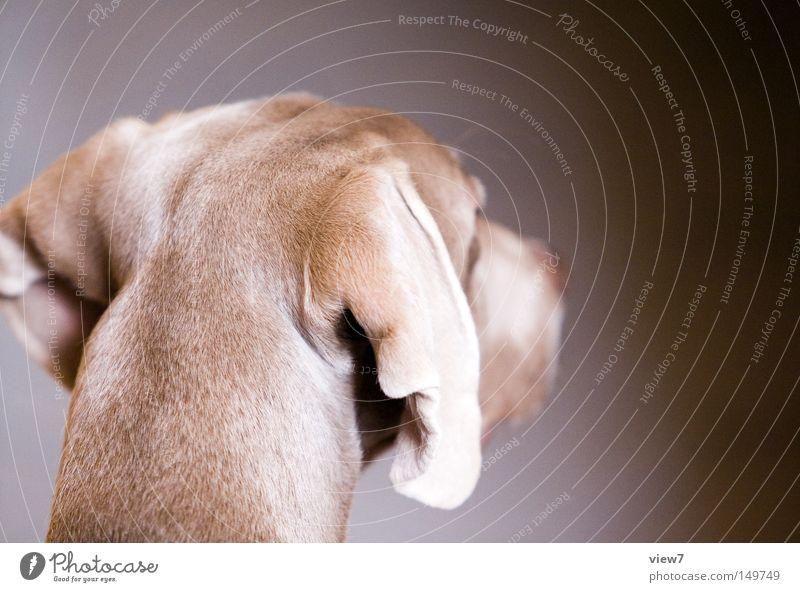 Hinterkopf schön ruhig Kopf Hund Nase Ohr niedlich Fell Haustier Säugetier Schnauze Tier wach Welpe Jagdhund Weimaraner