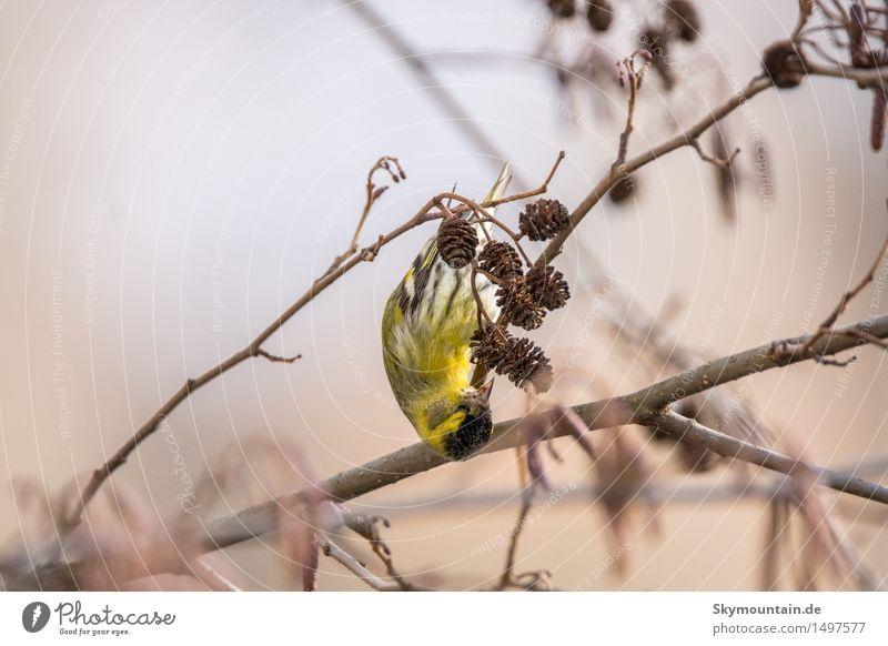 Birkenzeisig Umwelt Natur Landschaft Pflanze Tier Frühling Winter Schönes Wetter schlechtes Wetter Blume Wiese Feld Wald Wildtier Vogel Tiergesicht Flügel 1