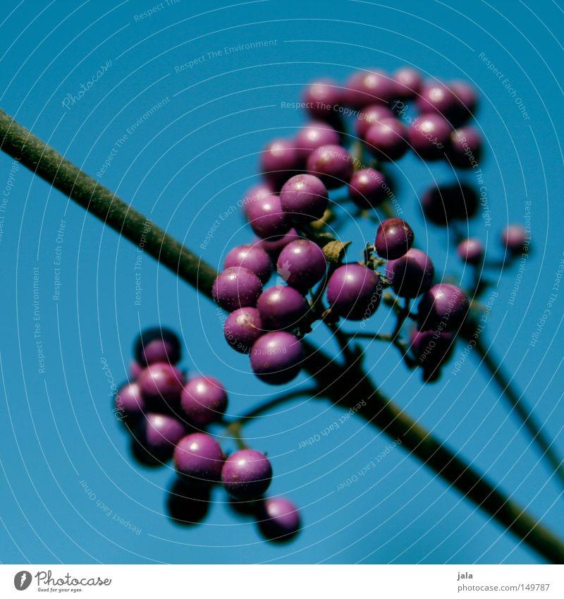 purple berries Himmel Natur blau Pflanze Herbst Park Hintergrundbild Sträucher Ast rein violett Zweig Beeren