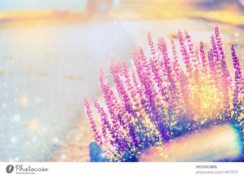 Sommer Natur Hintergrund mit Salbei Lifestyle Garten Pflanze Sonnenlicht Schönes Wetter Blume Gras Blüte Park Blühend Design Duft Heilpflanzen Sommerblumen