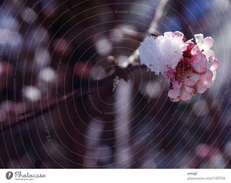 schmelzt bereits Schnee Blume Blüte kalt Winter rosa Pflanze Frühling schmelzen kälteeinbruch wintereinbruch wärmeeinbruch