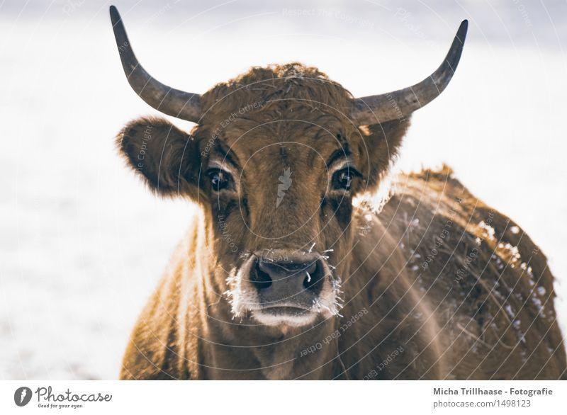 Frostig Winter Schnee Landwirtschaft Forstwirtschaft Natur Tier Klima Eis Fell Nutztier Kuh Tiergesicht 1 atmen beobachten Fressen füttern Blick stehen kalt nah