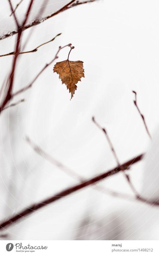 Hartnäckiges Ding Natur Erholung Blatt Winter kalt Schnee braun Eis Ast Vergänglichkeit kaputt Frost Jahreszeiten herbstlich Willensstärke vertrocknet