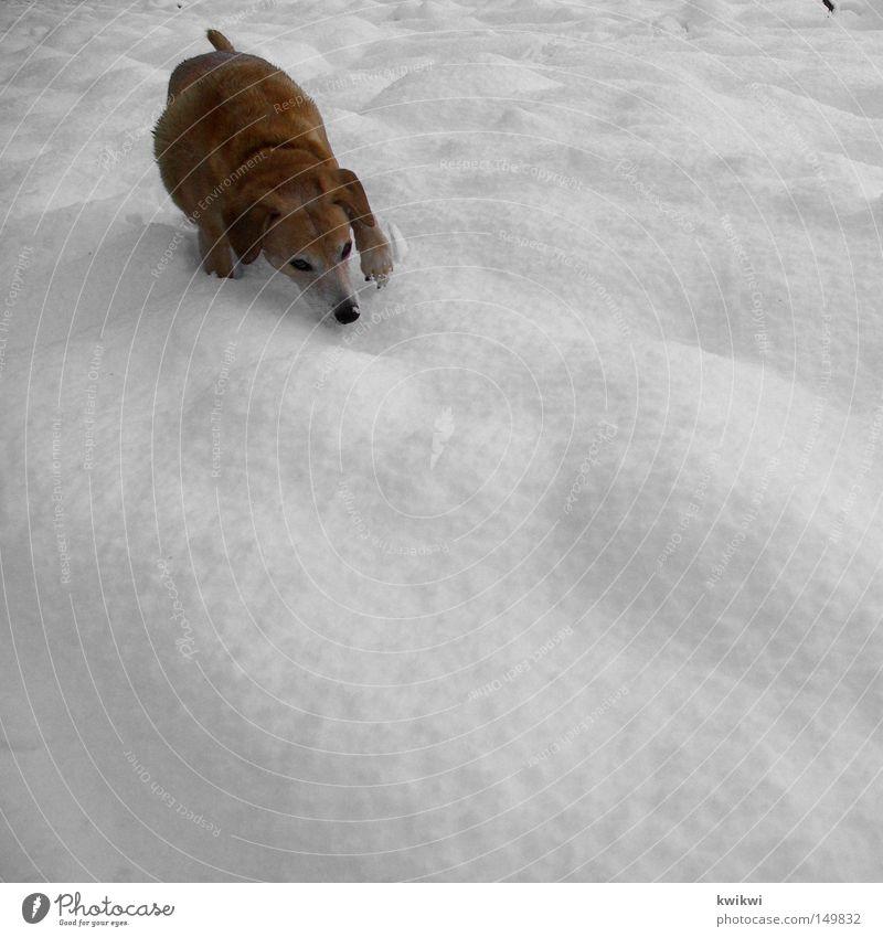 schneegestöber Hund Tier Haustier Jagd Beute Schnee Winter kalt Eis Frost frieren Suche finden Geruch spionieren Blick laufen Wittern Außenaufnahme Säugetier