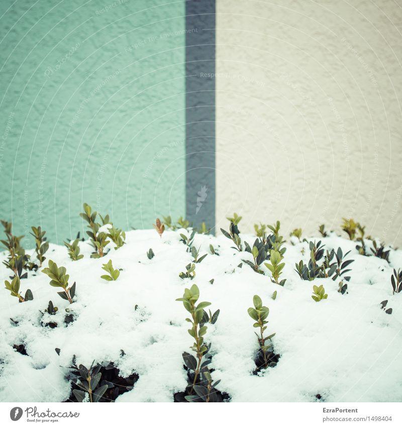 durchtrieben Winter Klima Wetter Schnee Pflanze Sträucher Blatt Buchsbaum Trieb Haus Bauwerk Gebäude Architektur Mauer Wand Fassade Beton Linie Streifen kalt
