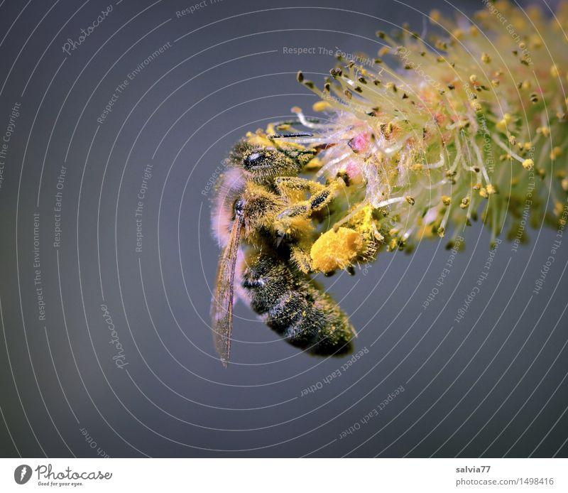 Sammelleidenschaft Natur Tier gelb Blüte grau braun Arbeit & Erwerbstätigkeit Wildtier Flügel Blühend Insekt Duft Biene Sammlung Pollen Frühlingsgefühle