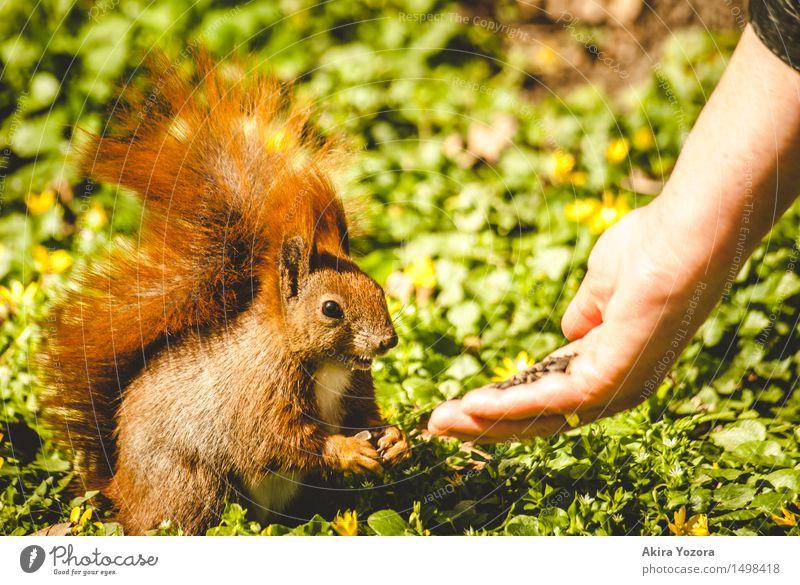Fütterungszeit II Natur Wiese Wildtier Eichhörnchen 1 Tier Fressen füttern Freundlichkeit niedlich wild braun gelb grün orange schwarz Akzeptanz Vertrauen Hand