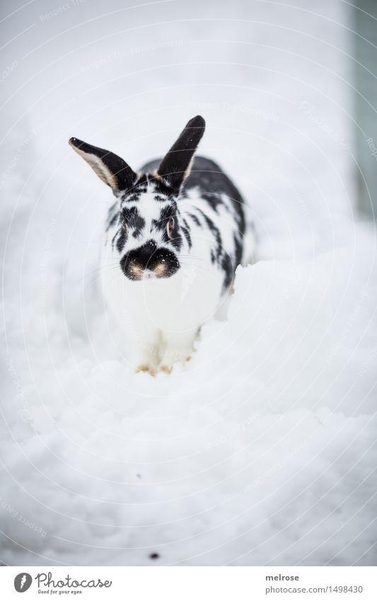 ich komm ja schoooon ... weiß Erholung Tier Winter schwarz kalt Schnee Garten stehen beobachten niedlich weich Pause Ostern Fell Haustier