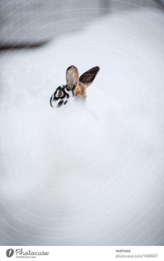 Downunder ... Landschaft Winter schlechtes Wetter Schnee Garten Tier Haustier Zwergkaninchen Nagetiere Säugetier Hasenohren Hase & Kaninchen 1 Schneebad tauchen