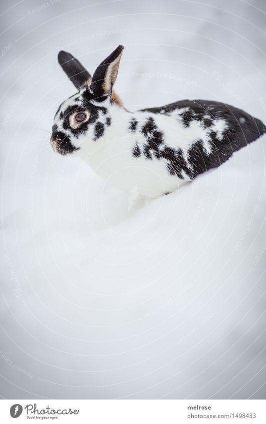 Quereinsteiger Stil Haustier Tiergesicht Fell Zwergkaninchen Hase & Kaninchen Nagetiere Säugetier Hasenohren Schnauze 1 Schneehase Erholung sitzen