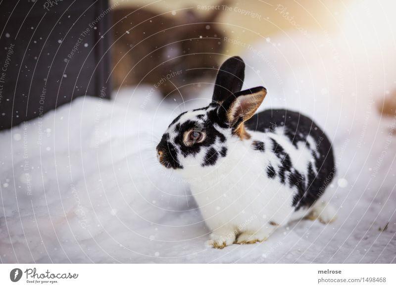M O D E L - Ambitionen elegant Stil Ostern Schnee Schneefall Haustier Tiergesicht Fell Pfote Hase & Kaninchen Hasenohren Nagetiere Säugetier Hasenpfote 1