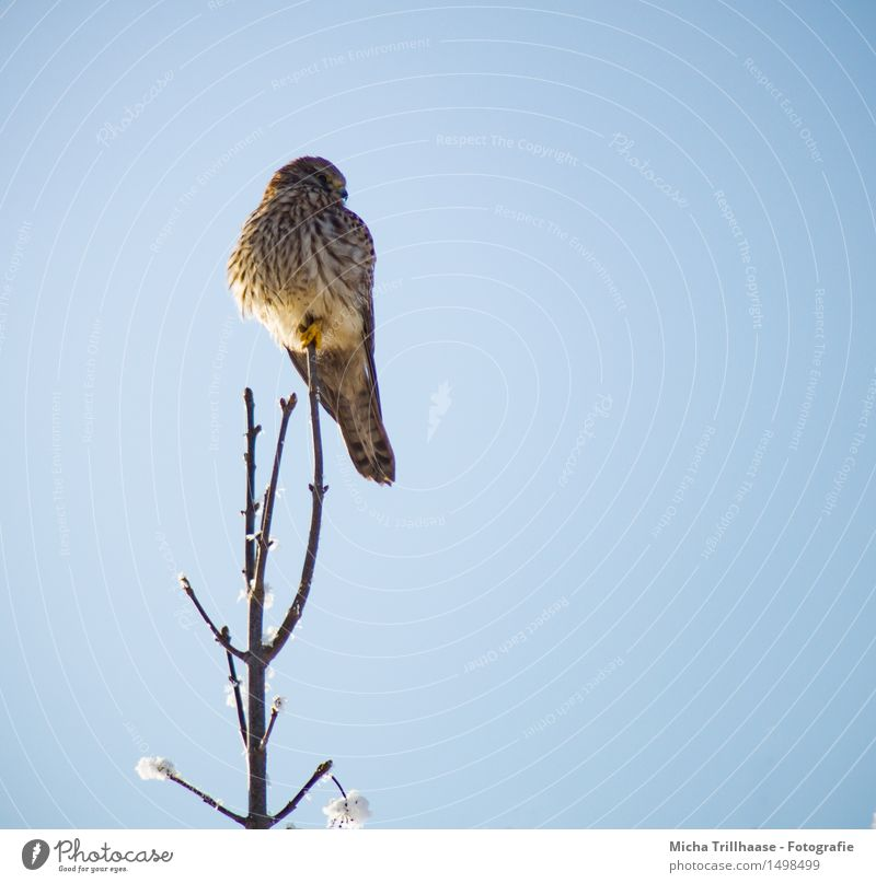 Aussicht Greifvogel Umwelt Natur Tier Himmel Wolkenloser Himmel Sonnenlicht Schönes Wetter Schnee Wildtier Vogel Tiergesicht Flügel 1 beobachten festhalten Jagd