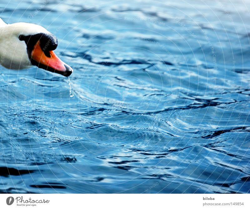 Hallo! Jemand da? Schwan weiß Hals lang Schnabel orange schwarz Feder Auge Blick Wasser tief grün Reflexion & Spiegelung See Flamingo Alken Möwenvögel