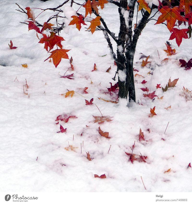 Ahornbaum mit roten Herbstblättern im Schnee Winter Schneedecke Baum Blatt Baumstamm Zweig Ast braun schwarz Ahornblatt Farbe mehrfarbig Herbstfärbung gelb