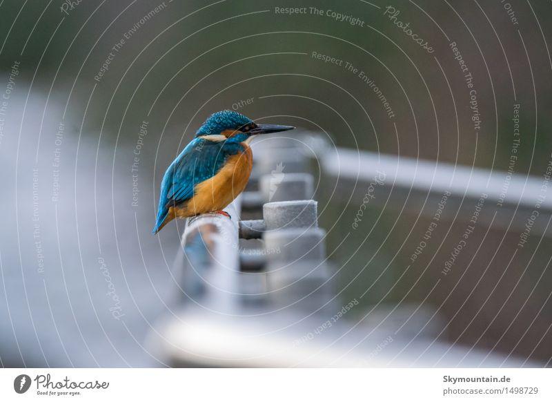 Eisvogel auf Geländer Natur Pflanze blau weiß Landschaft Tier schwarz Umwelt Wiese Küste See Vogel orange Park Wildtier Flügel