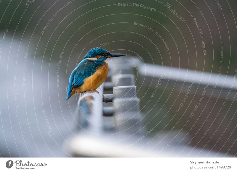 Eisvogel auf Geländer Umwelt Natur Landschaft Pflanze Tier Park Wiese Küste Seeufer Flussufer Teich Bach Wildtier Vogel Tiergesicht Flügel Eisvögel 1 blau