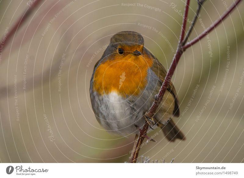 Rotkelchen Umwelt Natur Pflanze Tier Klima Schönes Wetter Baum Garten Park Wiese Feld Wald Hügel Alpen Berge u. Gebirge Strand Wildtier Vogel Tiergesicht Flügel