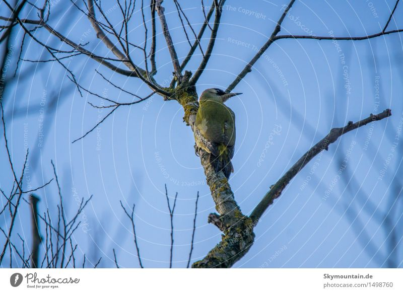 Grünspecht Umwelt Natur Pflanze Tier Himmel Wolkenloser Himmel Baum Garten Park Wiese Feld Wald Berge u. Gebirge Gipfel Seeufer Wildtier Vogel Tiergesicht