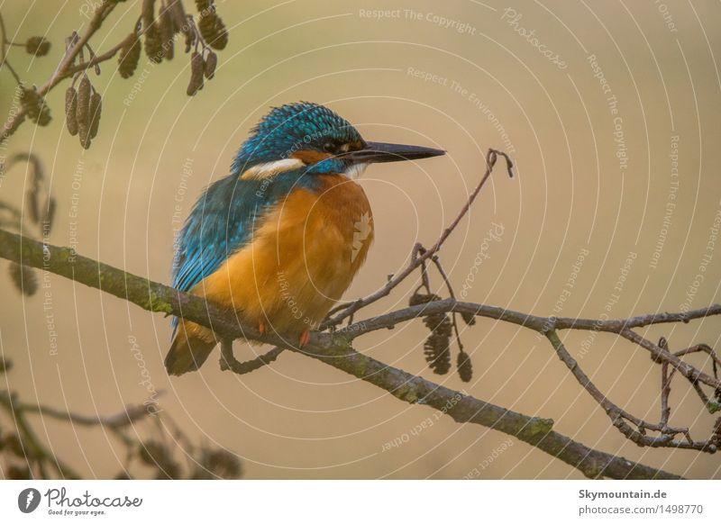 Eisvogel auf Erle Natur Pflanze blau weiß Baum Tier Umwelt Wiese Küste See braun Vogel orange Park Wildtier Flügel
