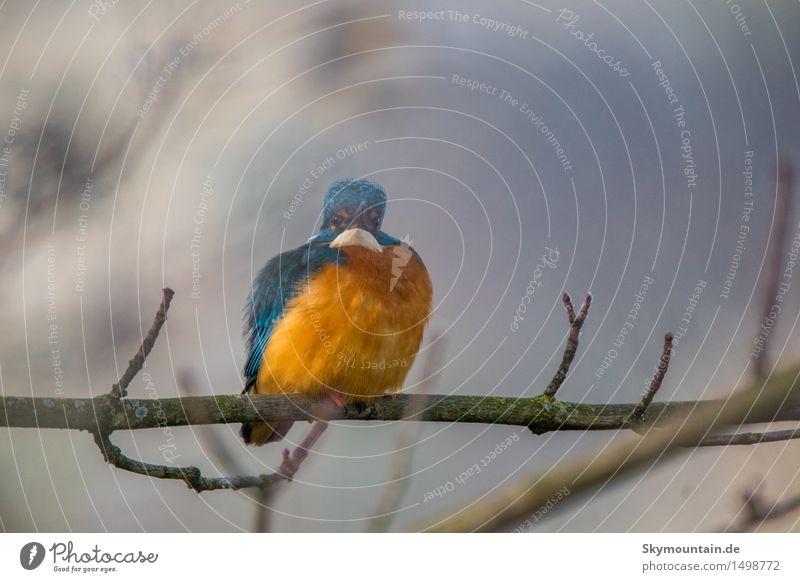 Was guckst Du - Eisvogel Natur Pflanze blau grün weiß Wolken Tier Winter Strand Umwelt Herbst Frühling Küste See Vogel orange