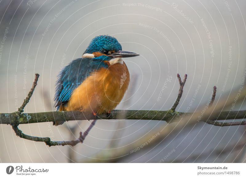 Eisvogel auf Ast Umwelt Natur Pflanze Tier Wetter Schönes Wetter schlechtes Wetter Küste Seeufer Flussufer Moor Sumpf Teich Bach Wildtier Vogel Tiergesicht