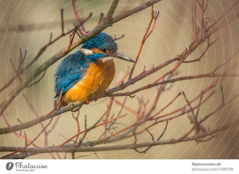 Eisvogel in Cornus Umwelt Natur Landschaft Pflanze Tier Sonne Frühling Herbst Winter Baum Garten Park Wiese Feld Wald Küste Seeufer Flussufer Vogel Tiergesicht